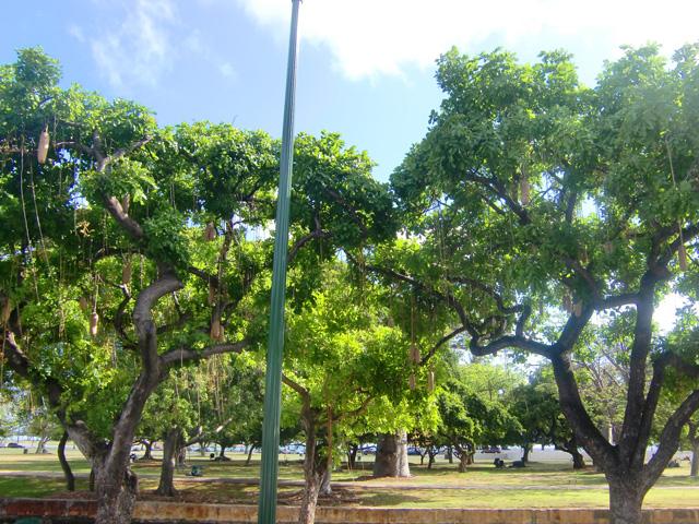 ハワイの木々