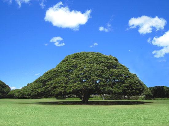 ハワイ,日立,この木何の木気になるなる気になる,モンキーポット